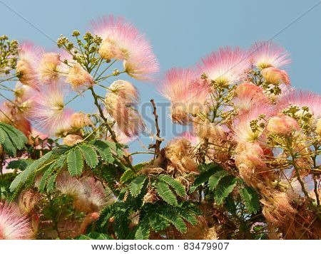 Flowering Silk Tree