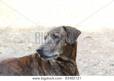 Thai Dog,brown Dog