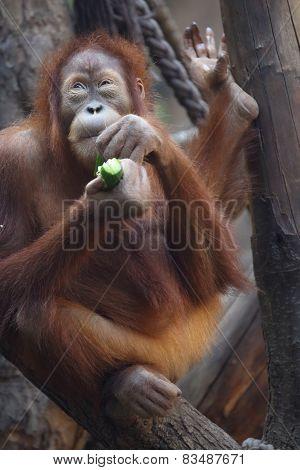 eating Orang Utan