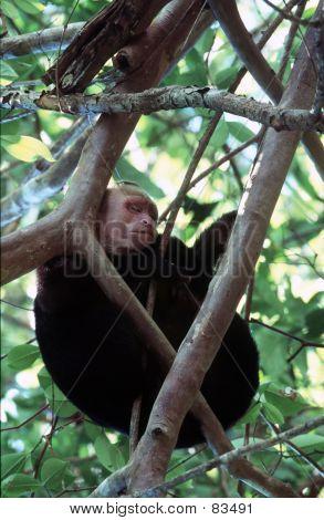 Capuchin Monkey Siesta