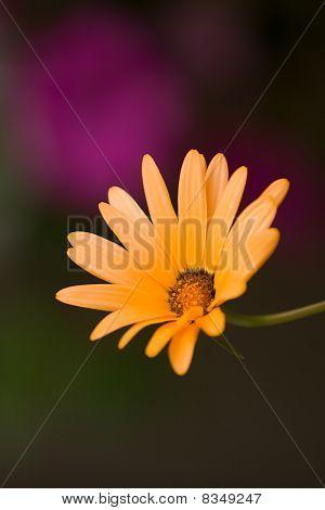 African Daisy Closeup
