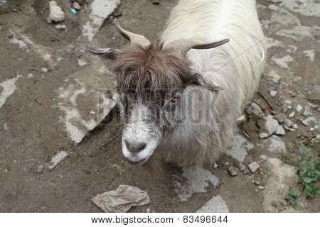 Ordinary Goat