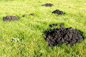 picture of mole  - Mole hills can be destructive in the garden - JPG