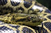 picture of anaconda  - My pet snake Stinky outside enjoying the sun - JPG