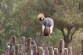 foto of bird fence  - Beautiful Crested Crane Bird on wooden fence - JPG