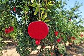 stock photo of sukkoth  - Pomegranate fruit orchard in Israel - JPG