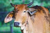 pic of oxen  - Head shot of the curious ox under the tree - JPG