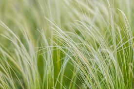 stock photo of grass  - Feather Grass or Needle Grass, Nassella tenuissima, forms already at the slightest breath of wind filigree pattern. ** Note: Shallow depth of field - JPG