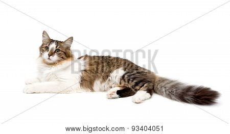 Fluffy Cat Isolated On A White Background
