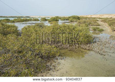 White Mangrove Trees In A Tropical Lagoon