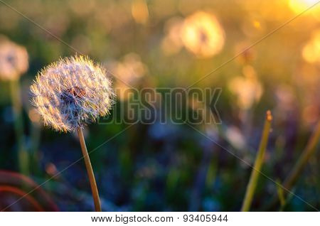 Dandelion Flower Head On Sunset