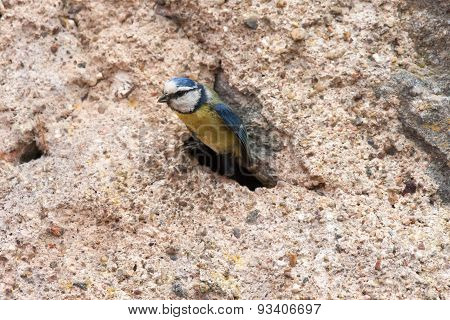 Blue tit emerging from nest