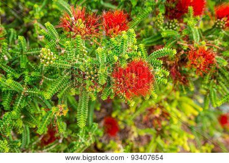 Sand Bottlebrush Red Flower In Kings Park And Botanical Gardens