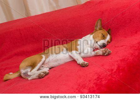 Basenji dog sleeping on a red sofa