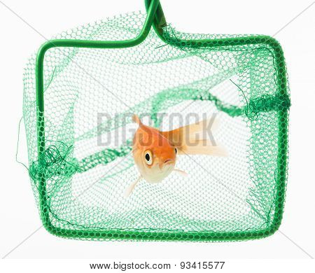 trapped goldfish isolated on white