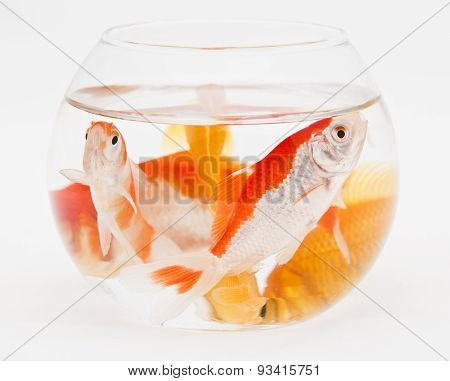 many goldfishes in small aquarium