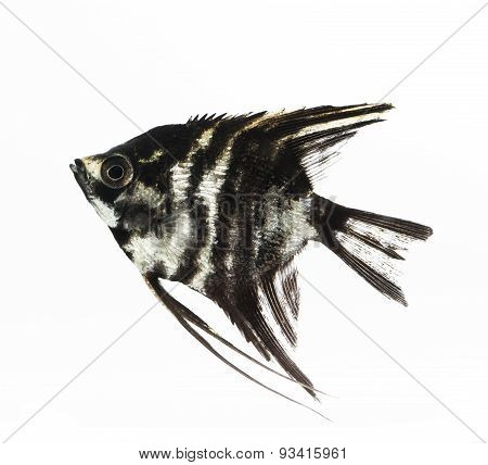 black angelfish isolated on white