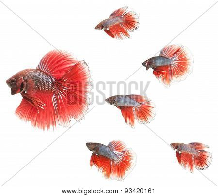 group of small betta fishes following big one