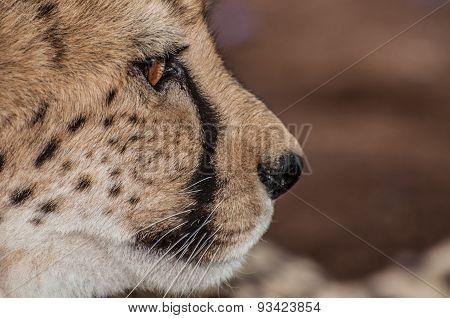 Up Close Portrait Of A Cheetah