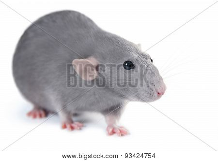 Gray Domestic Rat