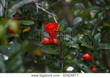 Pomegranate tree flowers.