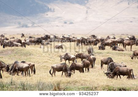 Herd Of Blue Wildebeest In The Nogorongoro Crater