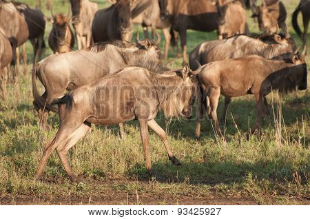 Wildebeest On The Run
