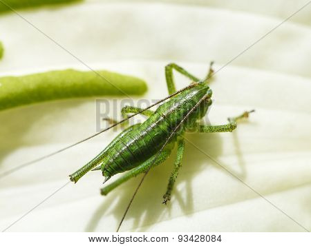 Grasshopper On White Leaf Of Hosta Plant