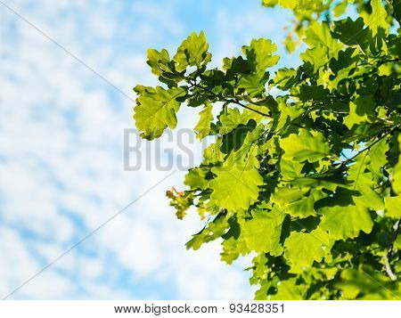 Sunlit Oak Foliage And Blue Sky With White Clouds