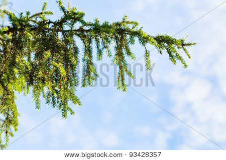 Green Spruce Branch And Blue Sky