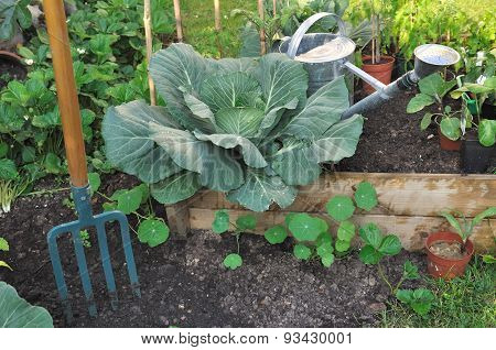 Green Cabbage In Patch