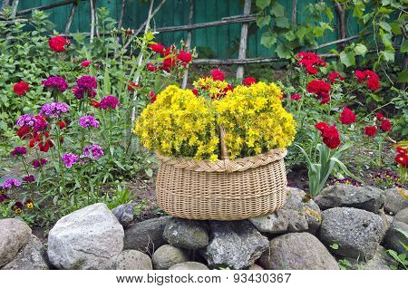 St. Johns Wort Medical Flowers Bunch In Basket
