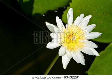 Water Lily On  Koh Ngai Island Thailand