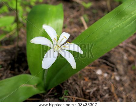 Queen's Cup - Clintonia uniflora