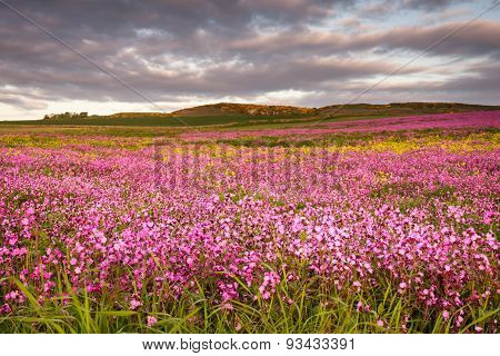 Field Of Red Campion