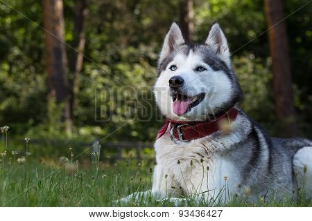 Siberian Husky lies in the shade.