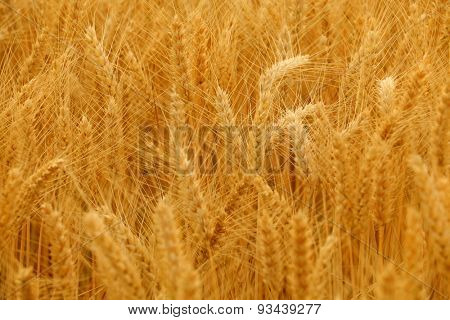 Wheat spikes in golden field with cereal grain