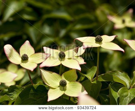 Flowers of Cornus kousa, the Kousa Dogwood