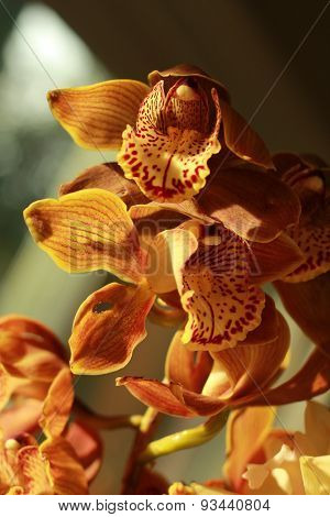 brownish orchid in sun