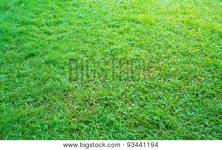 Green Grass Texture From A Field After The Rain