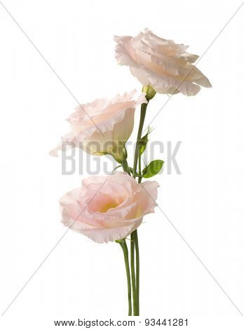 Three pale pink flowers (Eustoma) isolated on white.