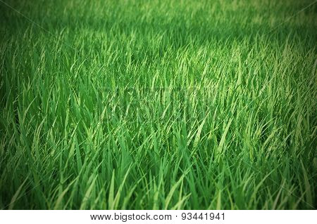Fresh green grass with a focal blur in the distance.