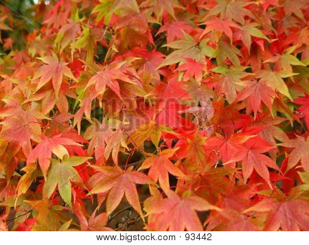 Japanese Maples In Autumn -1