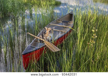 Corgi dog in a red canoe with a wooden paddle on lake shore with green vegetation