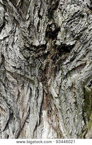 old oak bark