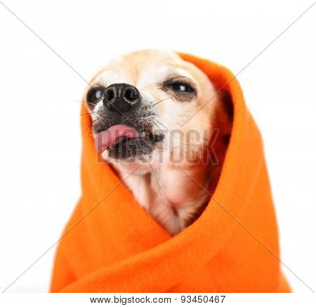 a cute chihuahua sticking his tongue out at the camera isolated on a white background studio shot