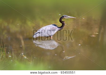Blue Heron hunting fish in the pond