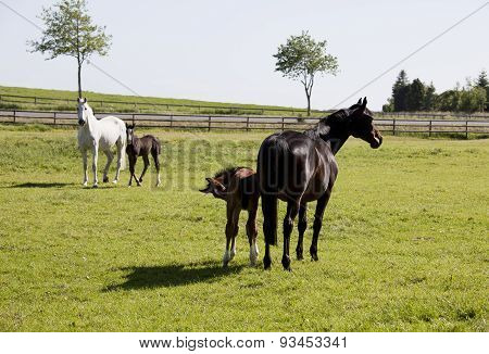 Two Mares With Foals