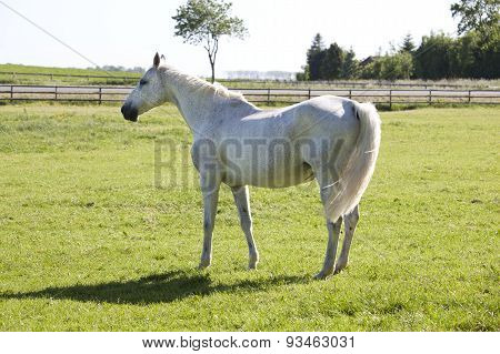 White Horse On Pasture