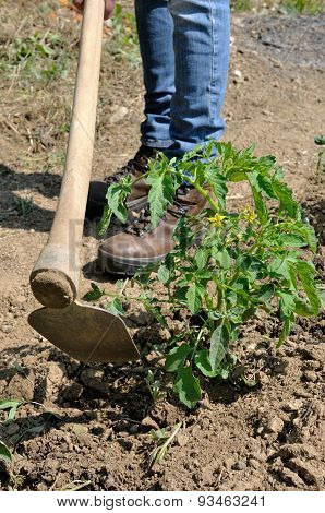 Work In A Tomatoes Cultivation